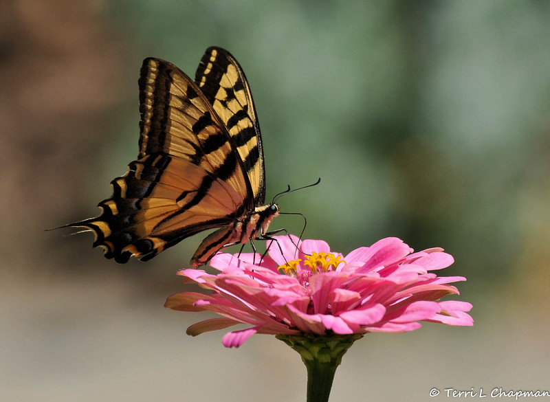 A Western Tiger Swallowtail sipping nectar from a Zinnia bloom.