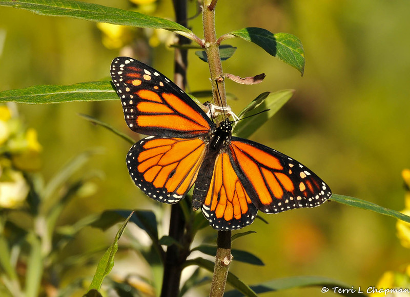 On February 1, 2015, which was 18 days after the caterpillar formed a chrysalis in my garden, a male Monarch Butterfly emerged around 2:30 pm. In this image it was the first time the Monarch stretched his wings.