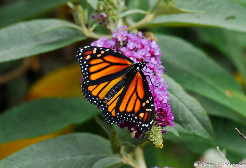 A beautiful female Monarch Butterfly drying her wings on a butterfly bush. This Monarch was born in my garden on May 5, 2015.