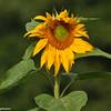 A Giant Sunflower