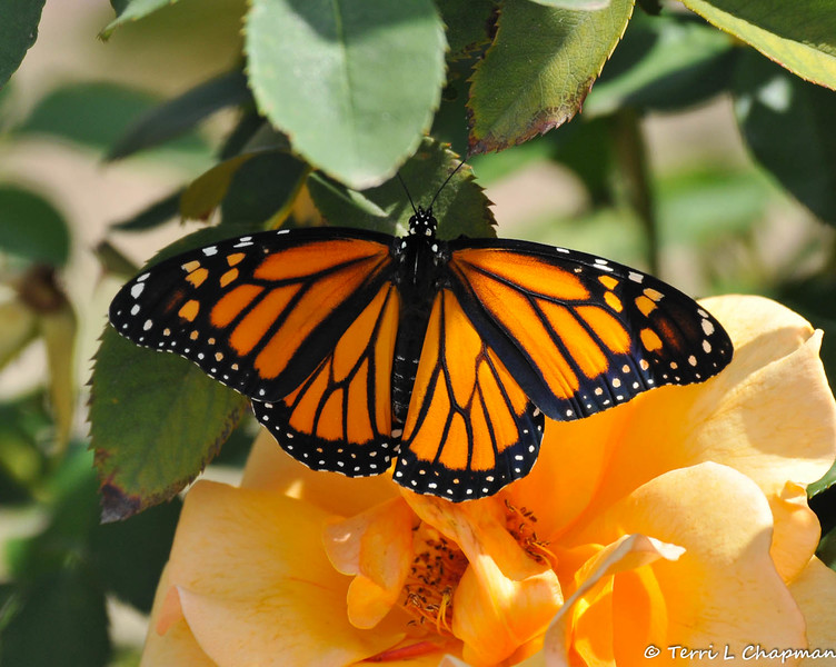 A beautiful female Monarch Butterfly, resting on a Gary Grant rose, before she takes her first flight. This Monarch was born in my garden on May 8, 2015, but the weather was cold that day, so she stayed safe in her mesh castle until the weather warmed up and then she was released.