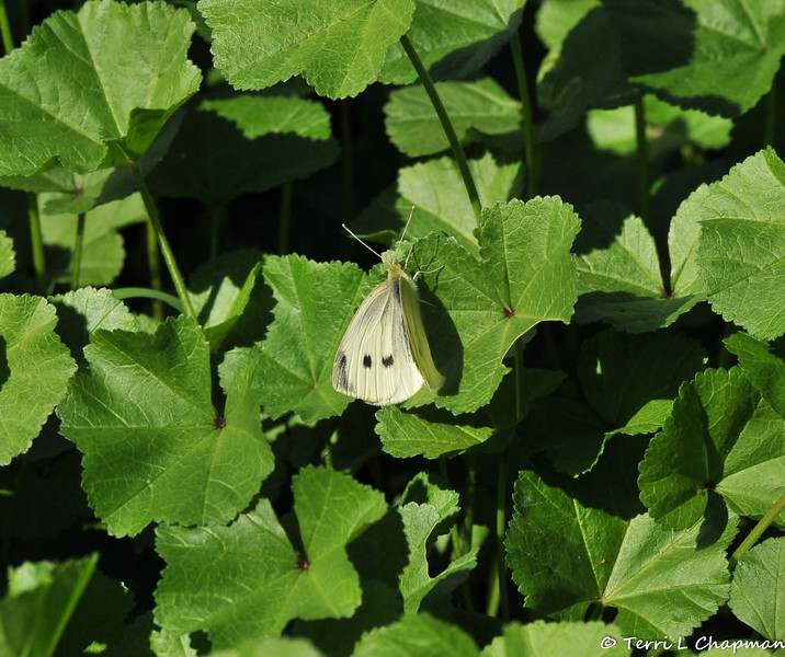 A Cabbage White butterfly resting on Cheeseweed