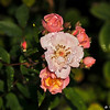 Flowering Girl roses with morning dew on them
