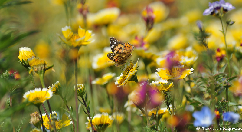 A Painted Lady Butterfly sipping nectar from a Tidy Tips flower