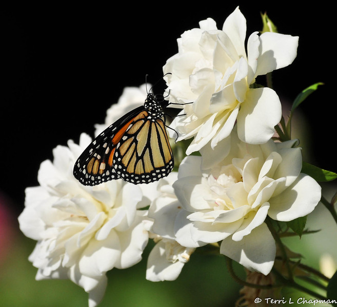 A female Monarch butterfly on an Iceberg rose