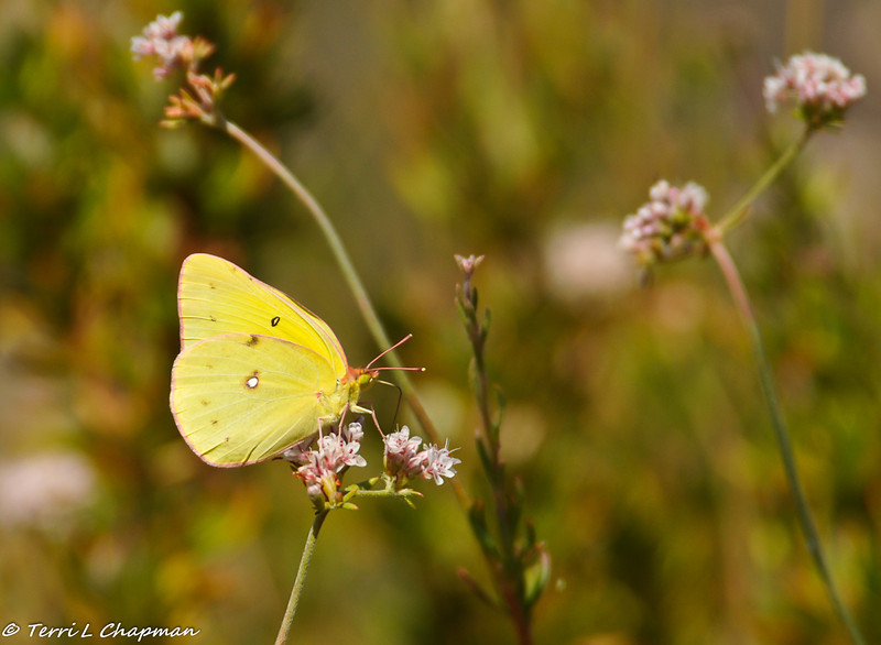 A Cloudless Sulphur butterfly