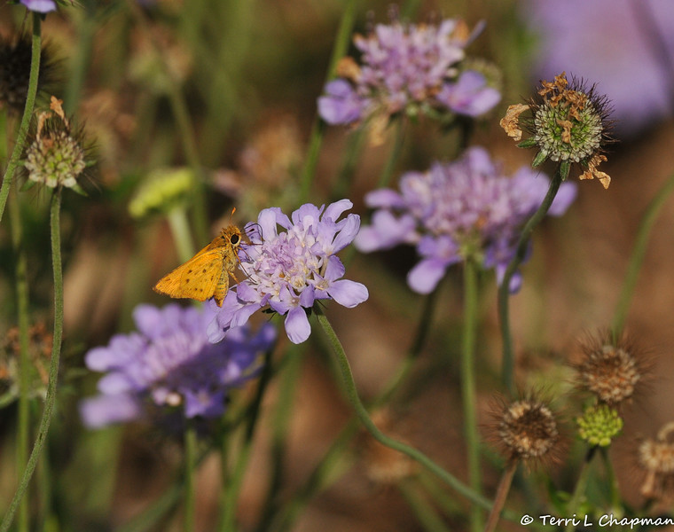 A Fiery Skipper Butterfly sipping nectar from a pincushion flower