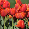 The 2016 Tulip Display at Descanso Gardens