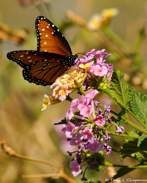 A Queen Butterfly sipping nectar from Lantana