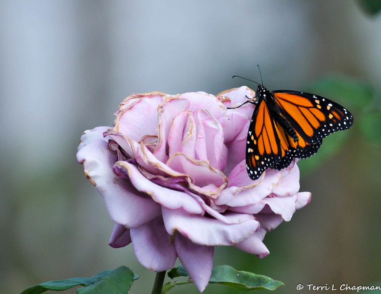 """A beautiful male Monarch Butterfly, resting on a """"Plum Crazy"""" rose, before he takes his first flight. This Monarch was born in my garden on May 8, 2015, but the weather was cold that day, so he stayed safe in his mesh castle until the weather warmed up and then he was released."""