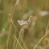 A Common Checkered Skipper on native grass