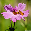 A Fiery Skipper Butterfly sipping nectar from a Cosmos flower