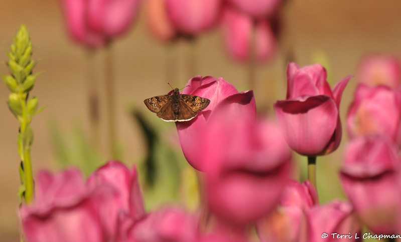 A Skipper Butterfly resting on a Spring Tulip