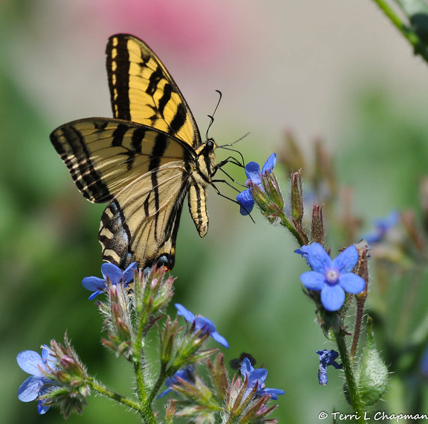 A Western Tiger Swallowtail sipping nectar from a  bloom.