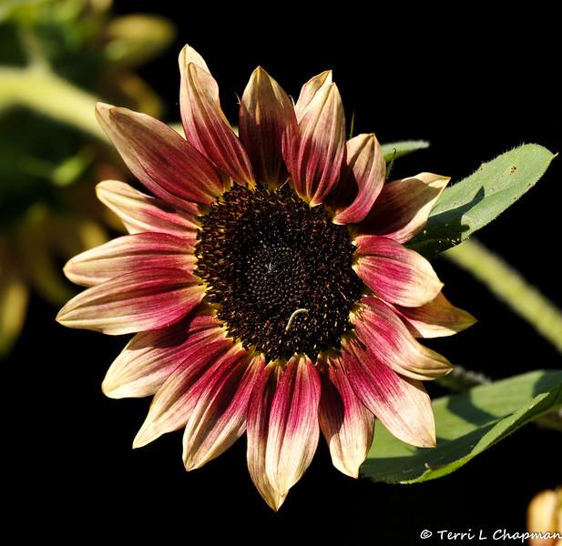 "A Helianthus ""Strawberry Blonde"" Sunflower"