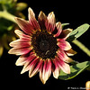 "A Helianthus ""Strawberry Blonde"" Sunflower"