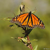 A male Monarch Butterfly on Milkweed with a Monarch caterpillar hidden below the butterfly