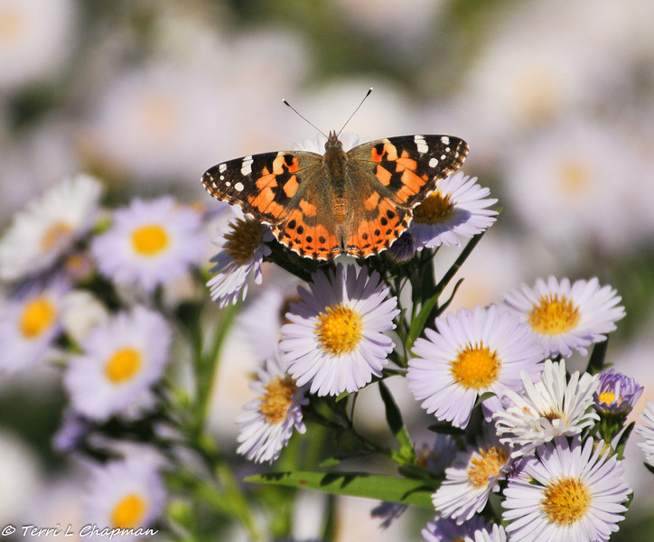 A Painted Lady butterfly on Aster blooms