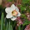 A Peach Daffodil