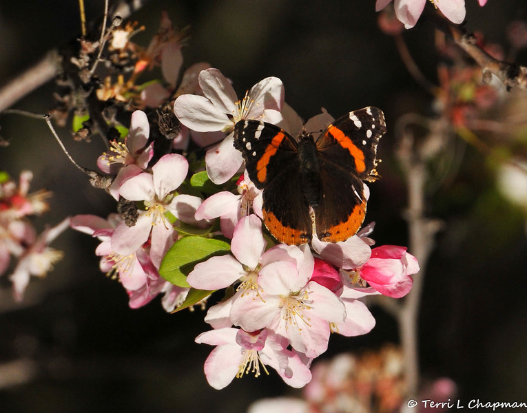 A Red Admiral Butterfly sipping nectar from a Cherry blossom