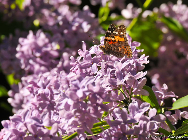 Painted Lady Butterfly on Lilacs