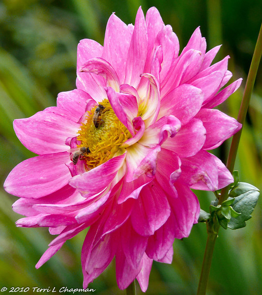 Honey Bees pollinating a Dahlia