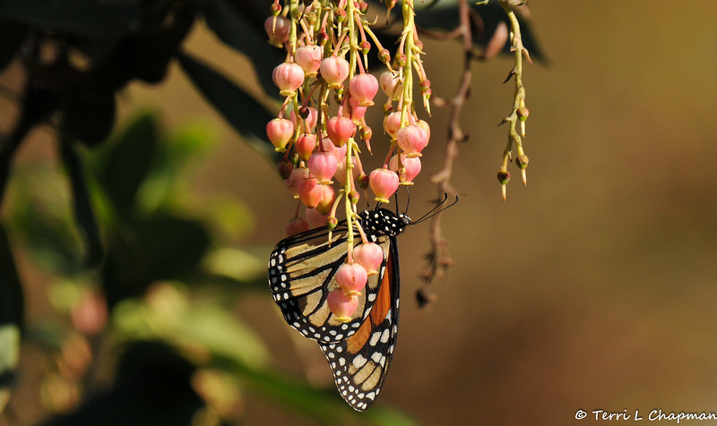 A male Monarch Butterfly sipping nectar