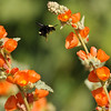 A Bumble Bee pollinating an Apricot Mallow bush