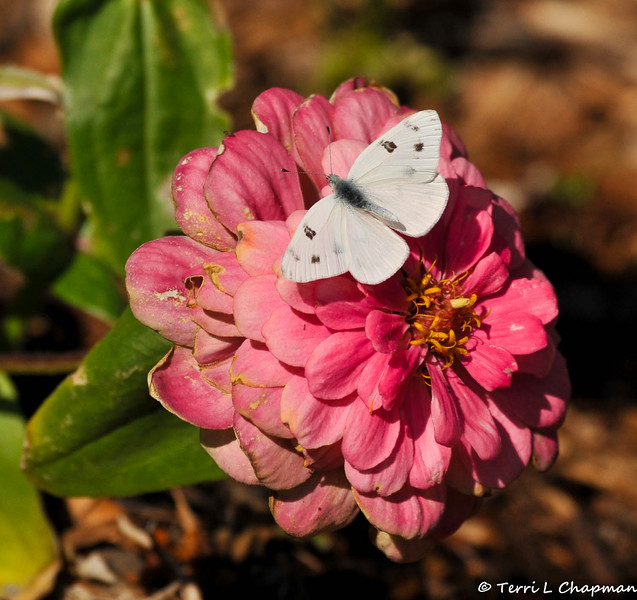 A Cabbage White Butterfly resting on a Zinnia flower