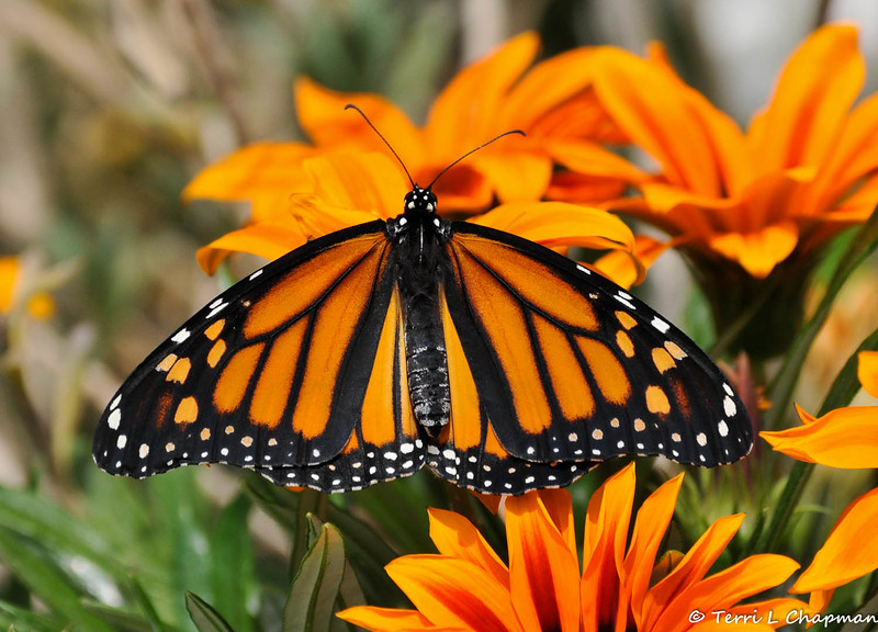 A beautiful female Monarch Butterfly, resting on a Gazania bloom, before she takes her first flight. This Monarch was born in my garden on May 8, 2015, but the weather was cold that day, so she stayed safe in her mesh castle until the weather warmed up and then she was released.