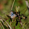 A Marine Blue Butterfly resting, and sunning its wings, on a Milkweed plant.