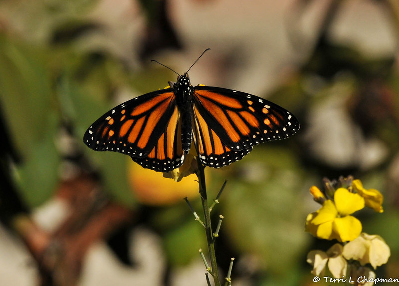 A female Monarch butterfly in my garden, that had just emerged from her chrysalis, and was spreading her wings to dry in the sun.