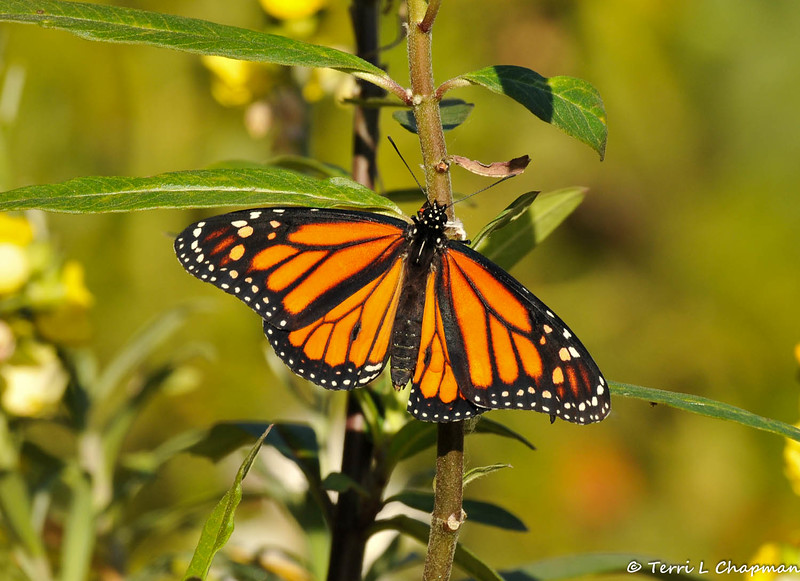 On February 1, 2015, which was 18 days after the caterpillar formed a chrysalis in my garden, a male butterfly emerged around 2:30 pm. In this image the Monarch stretched his wings.