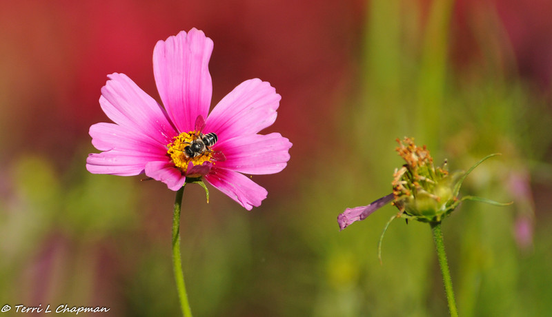 A Honey Bee with a Cosmo flower