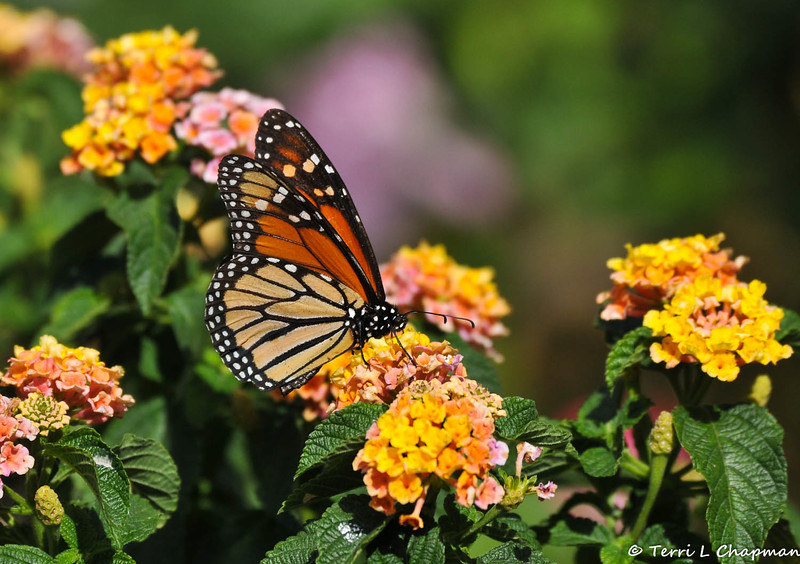 A male Monarch Butterfly visiting my garden on May 11, 2015. This Monarch has been coming to my garden every day and I have to be careful when I release my male Monarchs because he picks a fight with every one of them!