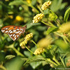 A Gulf Fritillary on a Lantana bloom