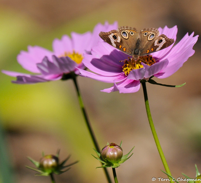 A Common Buckeye sipping nectar from a Cosmos flower