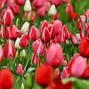 Tulip display at Descanso Gardens - Spring 2012