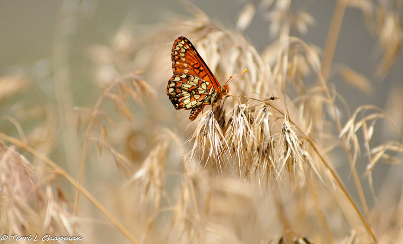 A Variable Checkerspot Butterfly photographed in the Angeles National Forest
