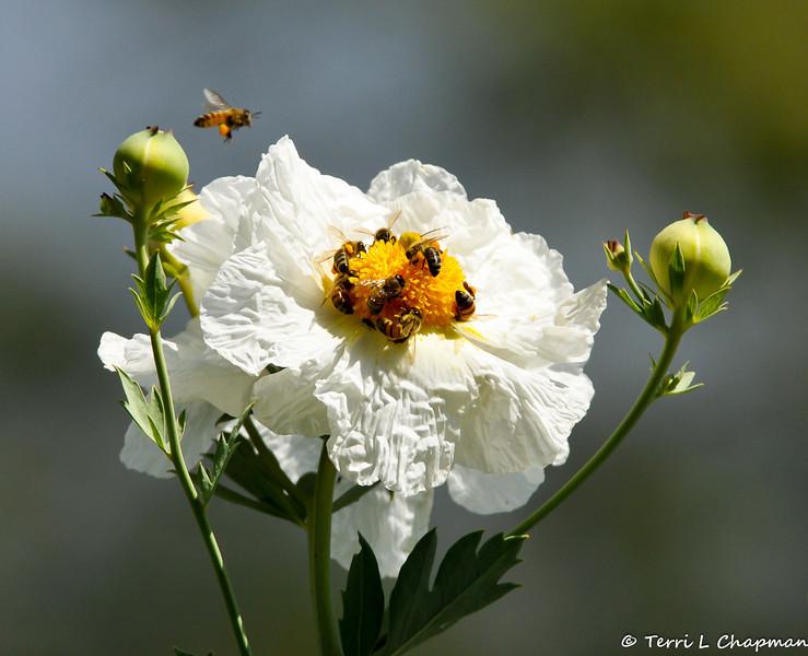 Honey Bees pollinating a Matijila Poppy