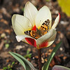 A Painted Lady Butterfly sipping nectar from a blooming Tulip at Descanso Gardens - March 2019