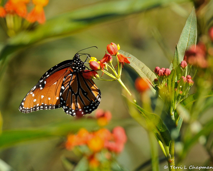 A Queen Butterfly sipping nectar from a Milkweed bloom