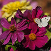 A Cabbage White Butterfly resting on a Cosmos flower.