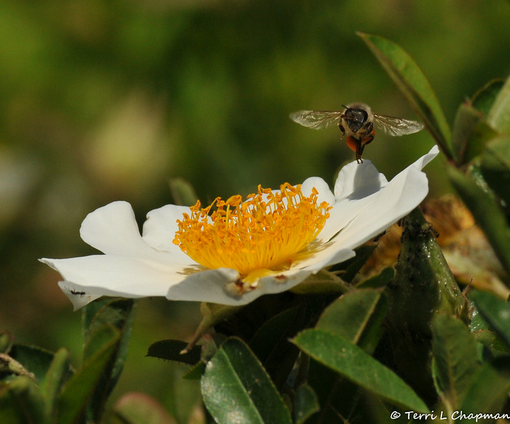 A Honey Bee lifting off from a rose carrying pollen with it