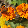 A West Coast Lady Butterfly on a Zinnia bloom