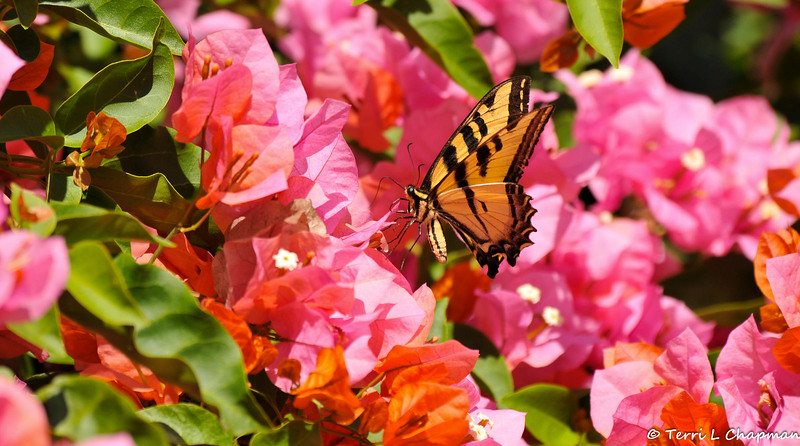 A Western Tiger Swallowtail on Bougainvillea