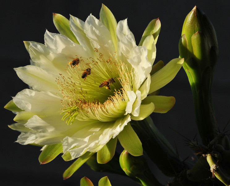 Honey Bees pollinating a cactus bloom in my backyard.