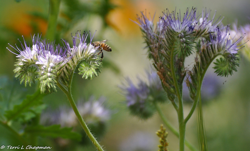 A Honey Bee on Phacelia tanacetifolia