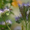 A Honey Bee on Phacelia tanacetifolia