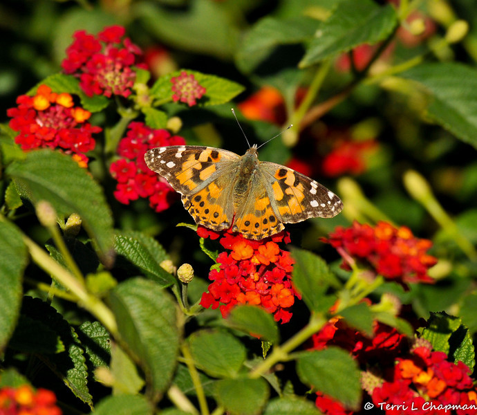 A Painted Lady Butterfly resting on a Lantana bloom